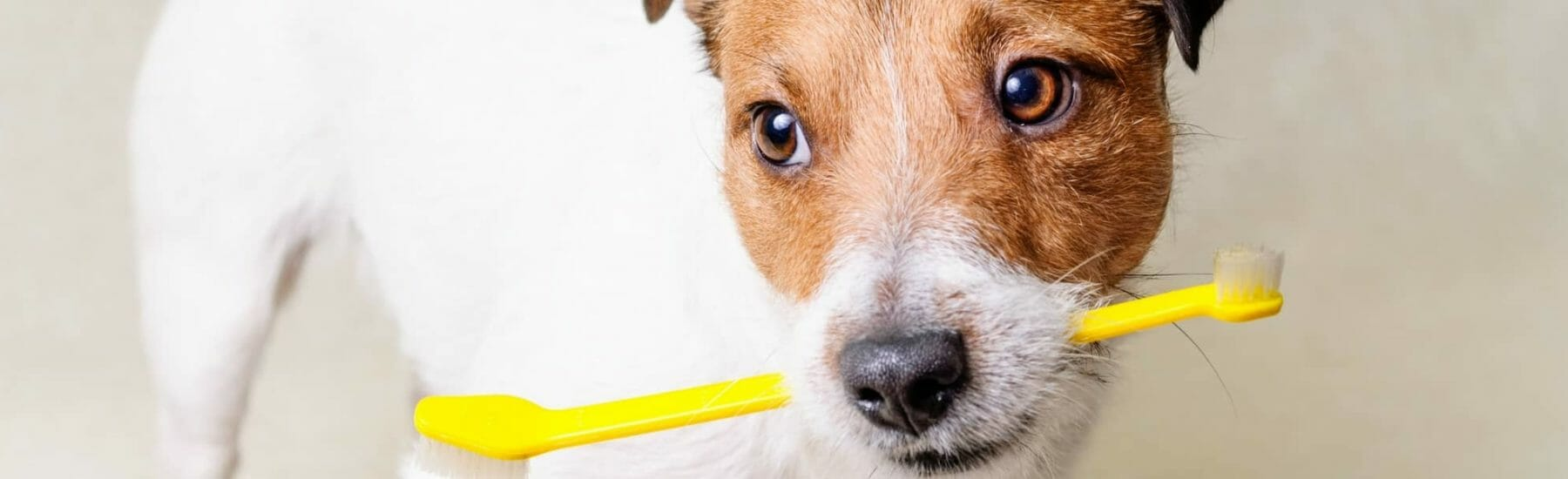 White and brown dog with yellow toothbrush in mouth