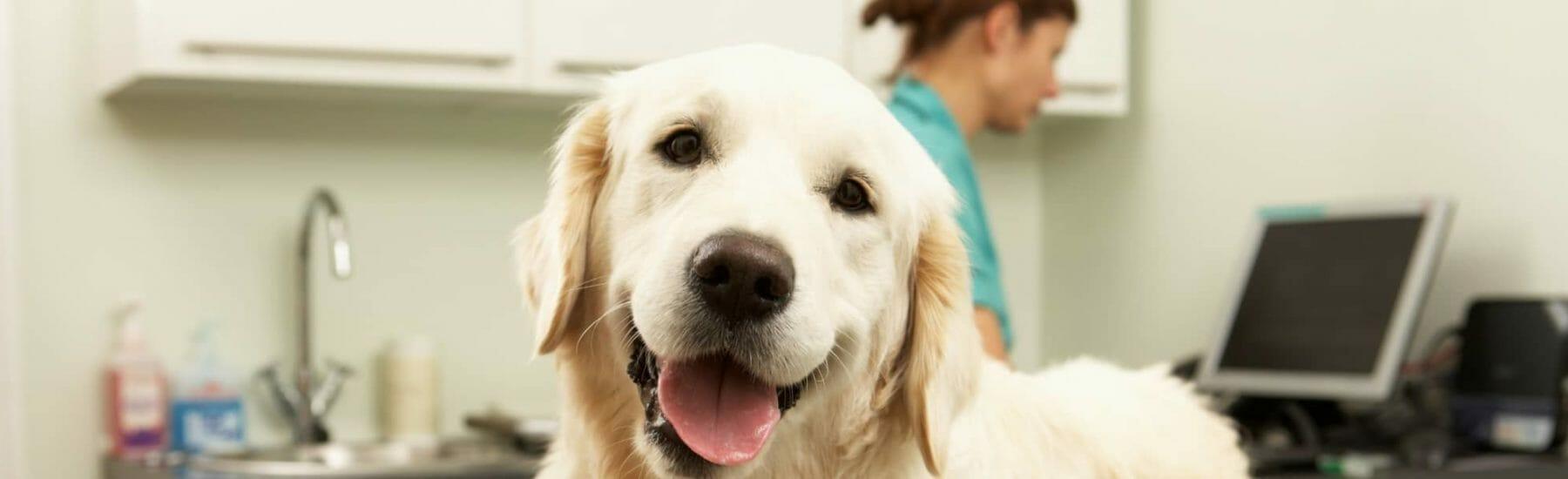 Medium sized white dog looking towards camera smiling