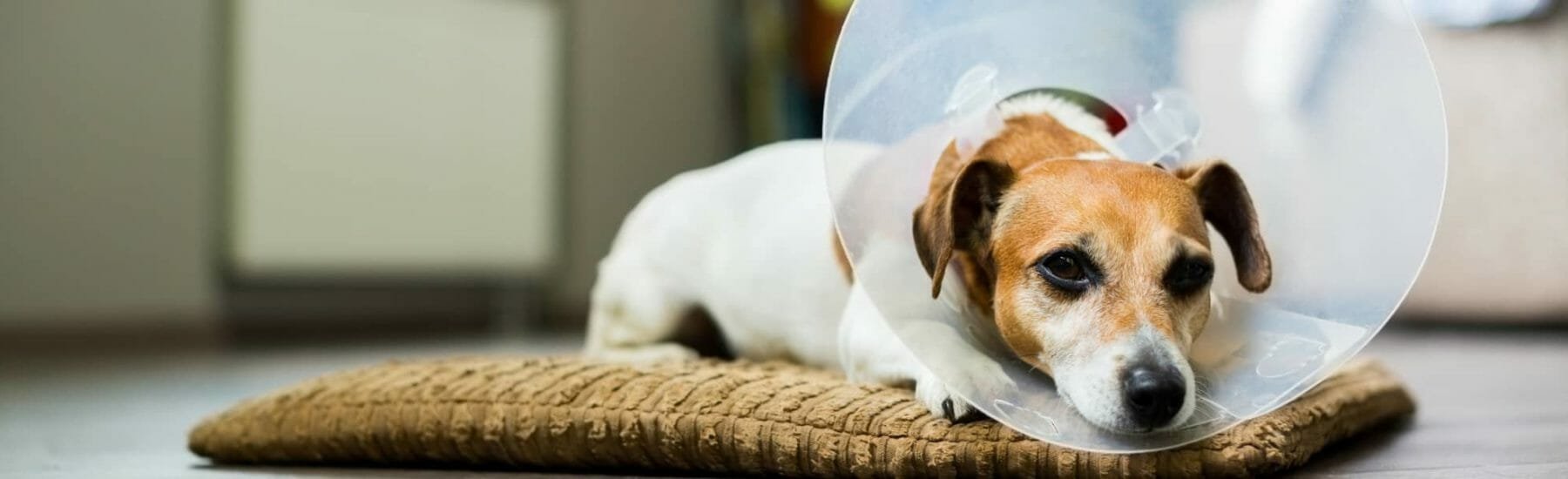 Small brown and white dog laying on a pillow with a surgery cone on head