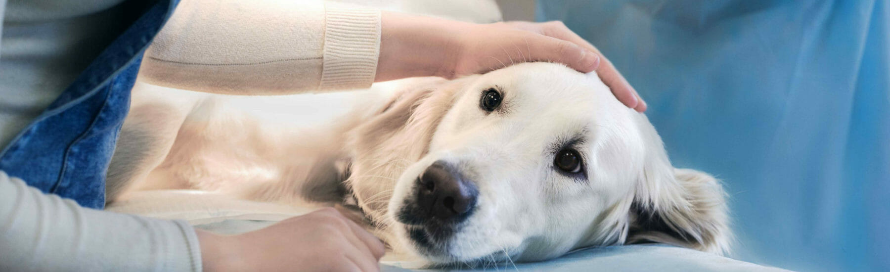 White dog laying on side with owners head resting on dog's head