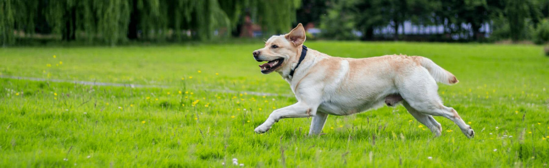 White dog running through bright green grass