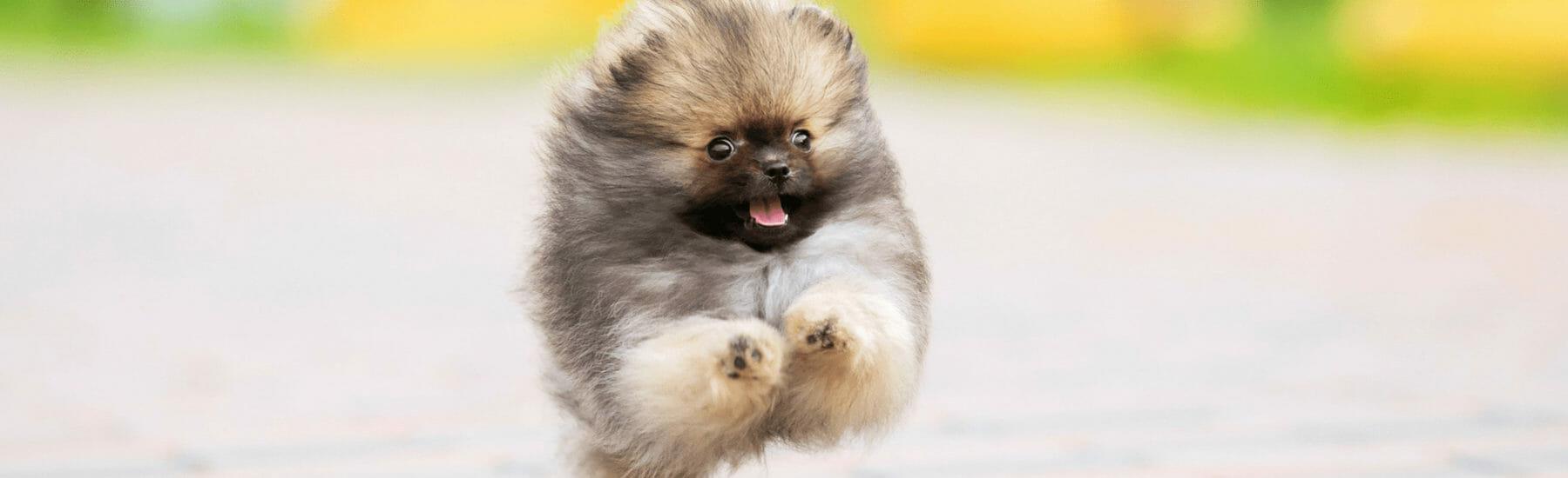 Small fluffy dog jumping