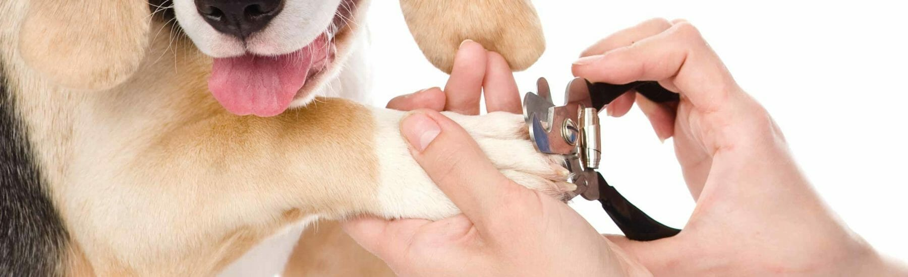 Brown dog with paw in vet's hand getting nails trimmed